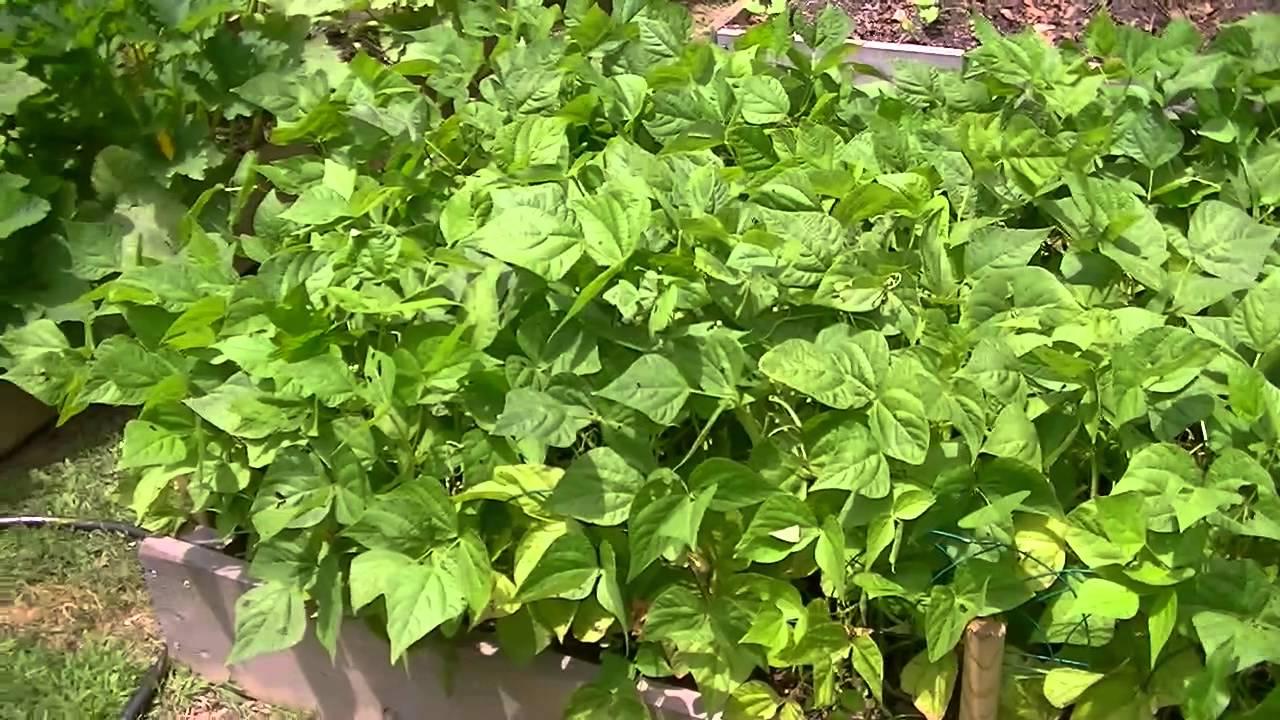 Bush Bean Trellis Part - 15: Blue Lake Bush Green Beans In Raised Beds