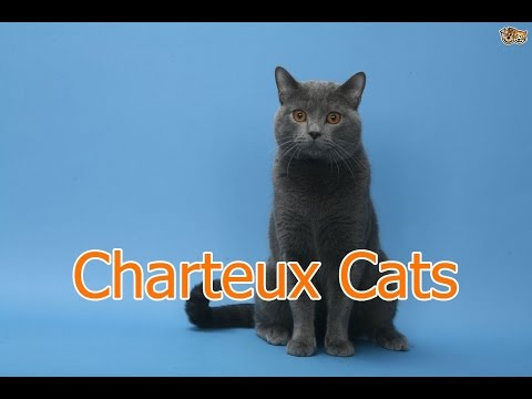 Charteux Cats ★ AnyFuns Channel