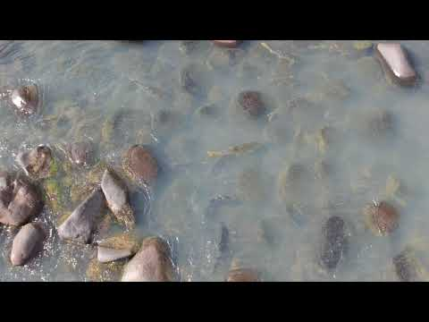 Fish Of The Orange River Near Van Der Kloof Dam