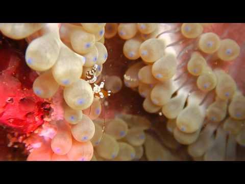 紫斑海葵蝦 Glass Anemone Shrimp