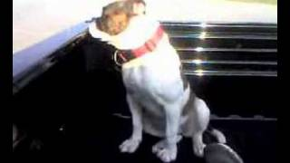 Redclay Kennels American Bulldogs