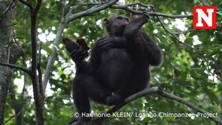 YouTube動画:Chimpanzees Smash Tortoises And Eat Their Meat