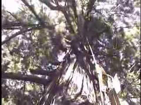 Climbing the World's Tallest Tree