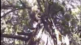 Climbing the World s Tallest Tree