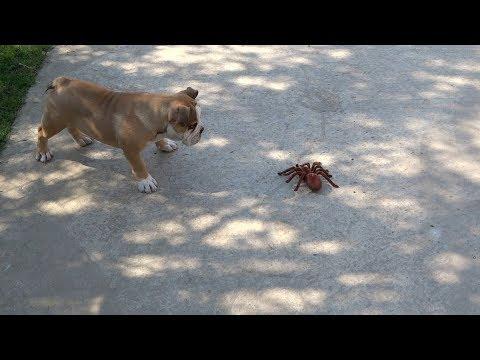 Bagheera the English Bulldog Puppy Fights Robot Spider