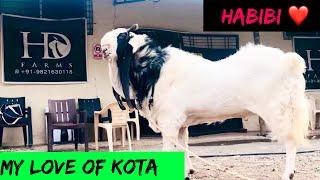 Download The Hejazi Kota bakra | Longest and Biggest Kota