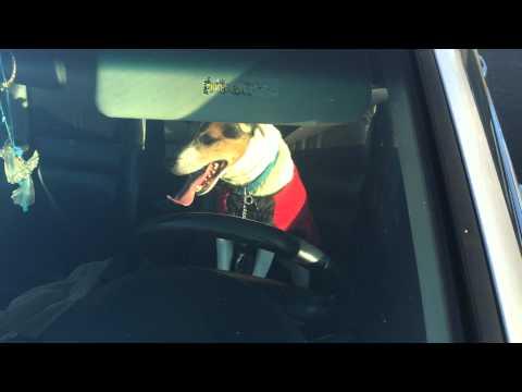 Dog wearing Xmas sweater seeking attention, honking car horn. Video 1 of 2