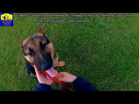 Vídeo do Cachorro Pastor Alemão no Inicio do treino de cães Caniroa