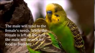 Facts about Budgie - Learning more about your pet - Part 1
