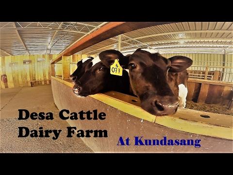 Sabah Kundasang Desa Cattle Dairy Farm