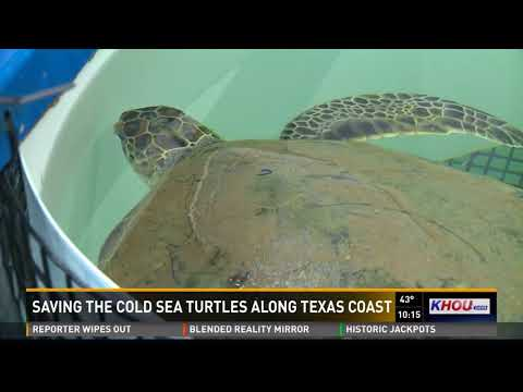 Researchers on Texas coast saving sea turtles from the cold