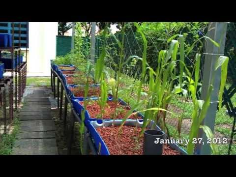 Growing Food In Singapore (January 2012)