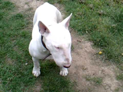 Bull Terrier obedience training. Tips on training your Bull breed dog.