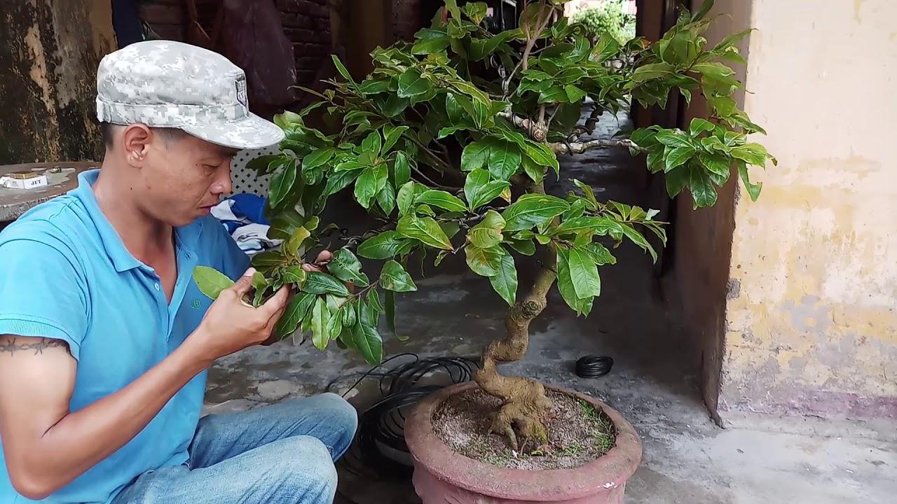 Tạo Dang Cay Mai Vang Nghệ Thuật Bonsai Mini đẹp