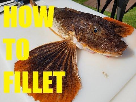 Sea Robin (Trash Fish) (Gurnard) - Fillet & Release!! How to Fillet a Sea Robin!