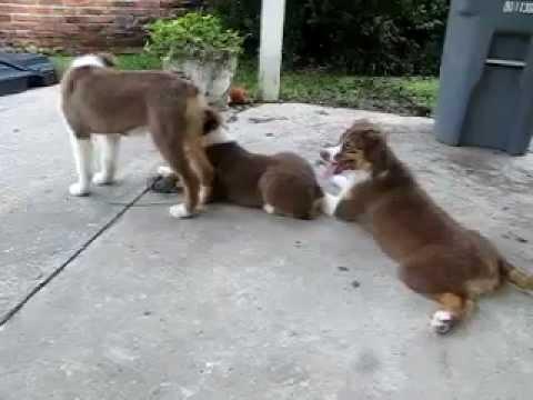3 Red Tri Australian Shepherd Puppies