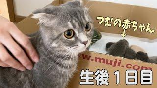 【生後日目】スコティッシュフォールドつむの子猫の成長記録… first day, my cat and her 4 babies live together