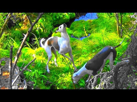 Italian Greyhounds * Hunting Squirrels in the Forest