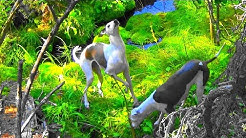 Italian Greyhounds * Squirrel hunting in the Forest