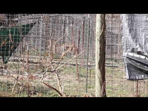 IFAW Arkansas Big Cat Rescue