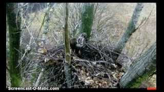 Imperial Eagle Nest: Buzzard