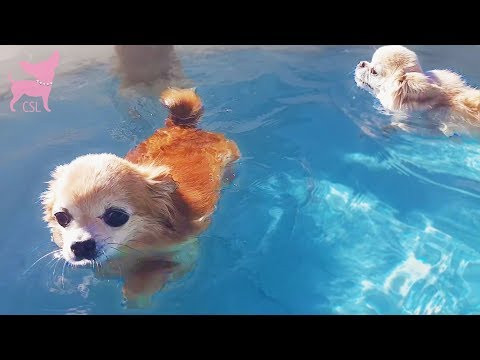 Cute Chihuahua Dogs Swimming in the Pool and Playing in the Yard