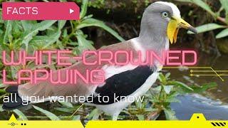 Whitecrowned Lapwing  Whiteheaded Lapwing  Whiteheaded Plover  Whitecrowned Plover