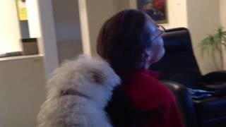 Alfie: The Westie-poo Hair Stylist
