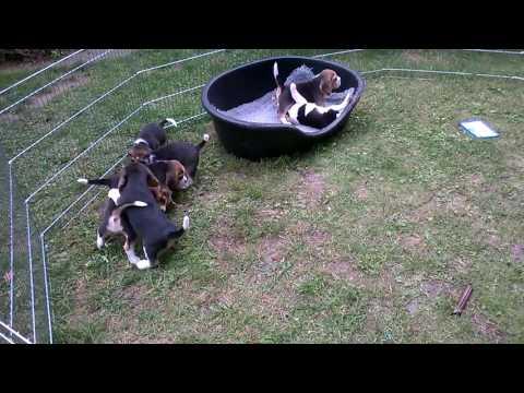 Beagle szczeniaki miot H & I