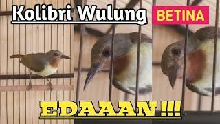 Kolibri wulung betina gacor full isian