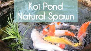 Koi Pond Natural Spawning -Koi Breeding Koi Mating A Beginner's Note 錦鯉池產卵 Hồ Cá Koi Sinh Sản