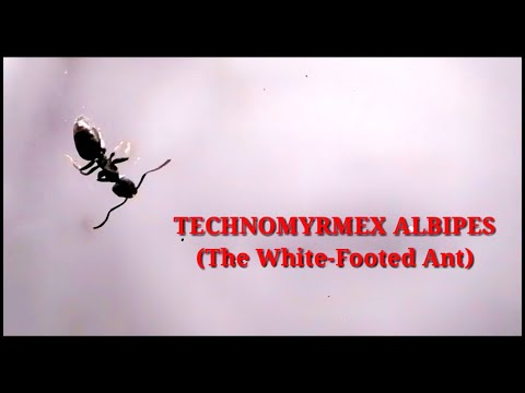THE WHITE FOOTED ANTS (TECHNOMYRMEX ALBIPES) - AN INTRODUCTION