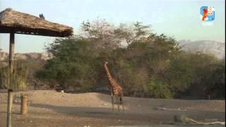 Virry.-Лучшее из прямого эфира.-Жираф не пьет один.(, 2015-06-10T15:21:16.000Z)