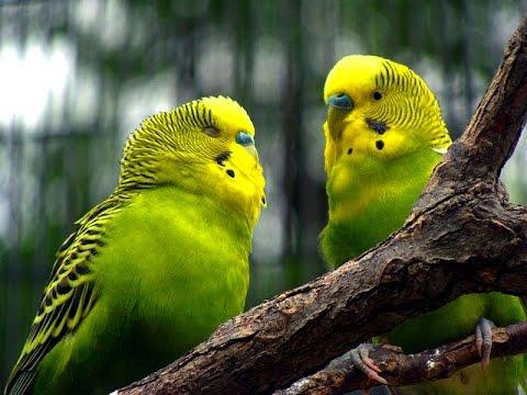 Волнистые попугаи ( на воле )