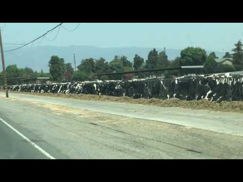 Chino calif dairy cows