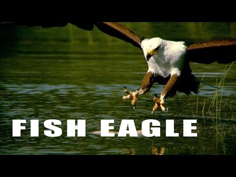 African Fish Eagle Catch His Fish In SLOW MOTION