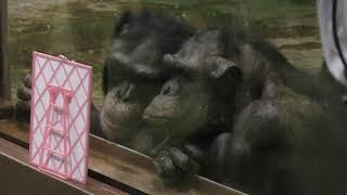 チンパンジー (旭山動物園)
