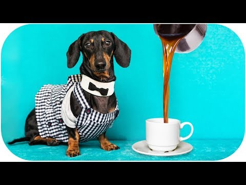 What if DOG is BARISTA? Funny animal video!