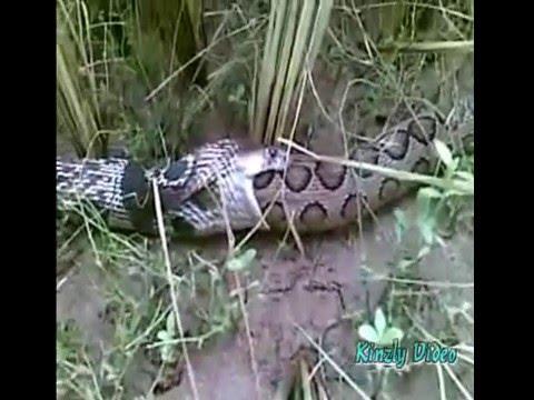 Snake 3d Live Wallpaper Cobra Vs Viper Fight In Sri Lanka Youtube