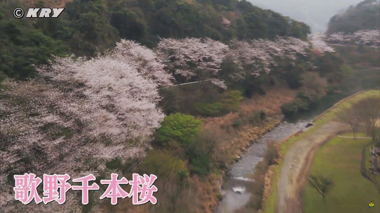 ドローンで見るお花見「歌野千本桜(山口県下関市菊川町)」
