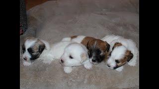 Coton Puppies For Sale - Vivian 7/28/20