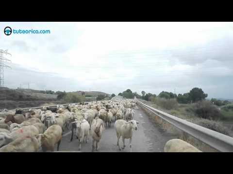 11- Rebaño ovejas
