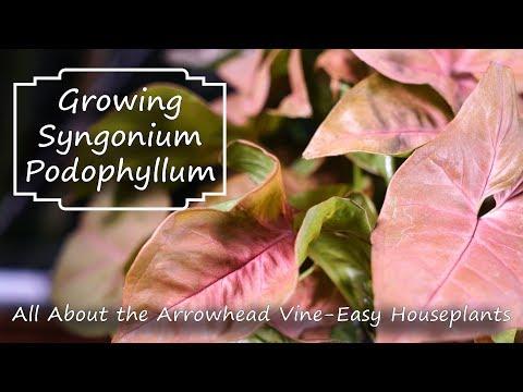 Arrowhead Vine    Syngonium Podophyllum    Supreme Houseplants
