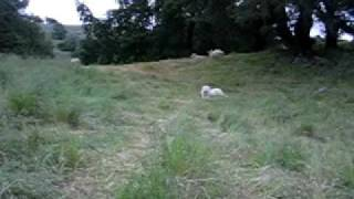 Life of a Livestock Guardian Dog