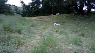Life of a Livestock Guardian Dog