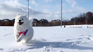when a sled dog samoyed meets snow