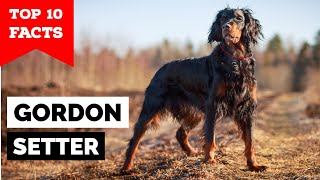 Gordon Setter  Top 10 Facts
