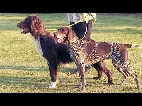 dog-breed-video:-german-shorthaired-and-longhaired-pointers