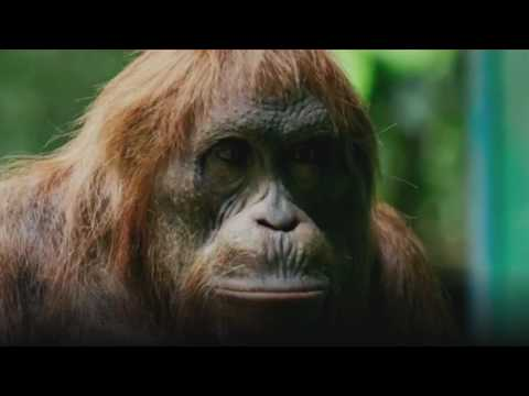 Woodworking Orangutan