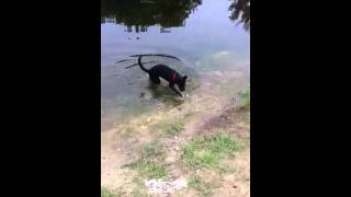 Labrador Retrievers Really Like Water